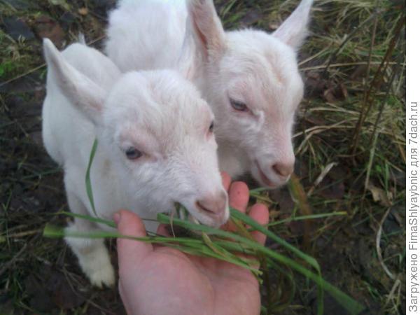 Двое козлят из деревни Барашково
