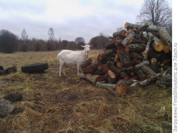 Маруська и чурки на дрова