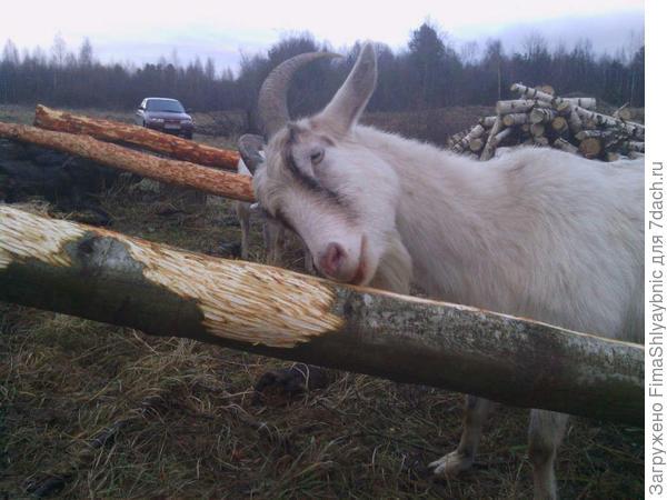 Белка сгрызает кору с ольхи
