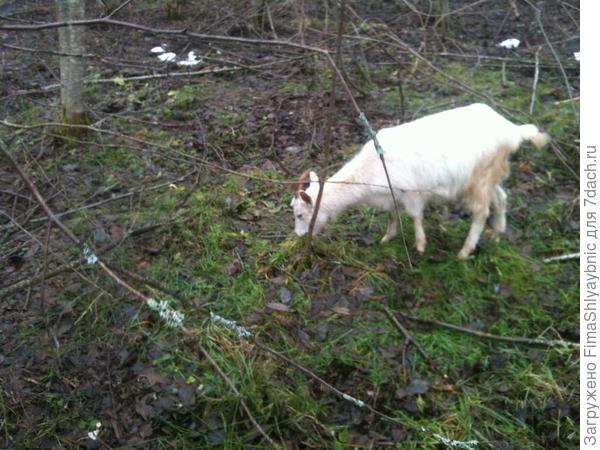 Зеленая трава в лесу и коза в декабре 2016 года