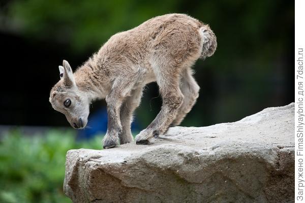 Козленок горной сибирской козы. Фото с сайта udivitelno.com