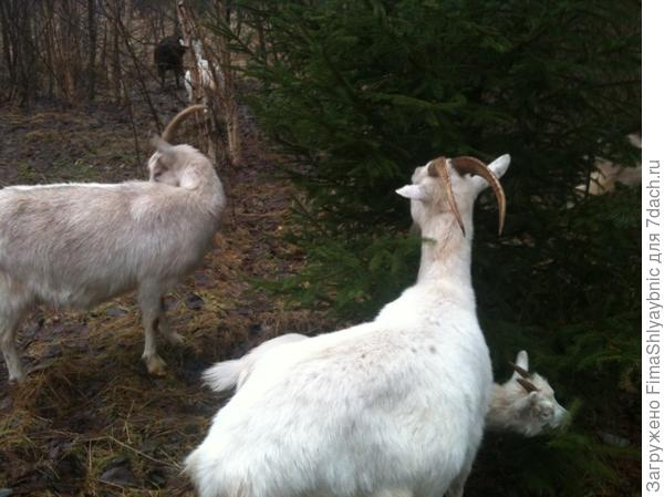 Новогодняя прогулка с козами