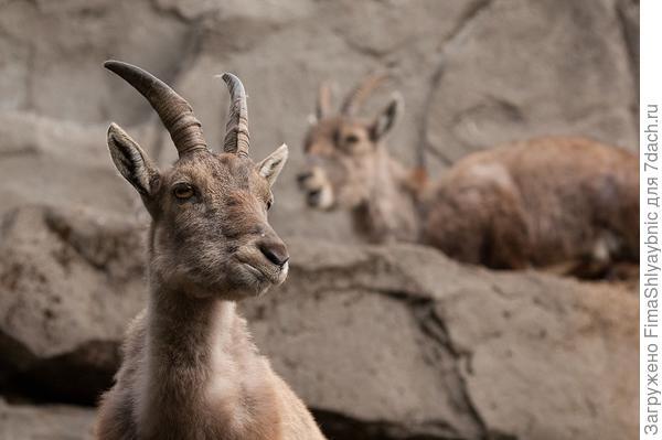 Горная сибирская коза. Фото с сайта  udivitelno.com