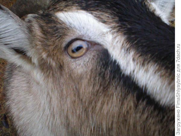 Козий глаз