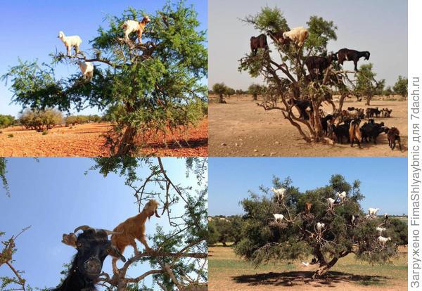 Еще немного коз на деревьях. Фотографии с сайта