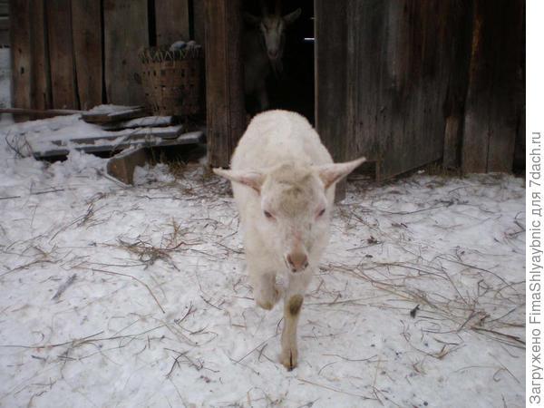 Козлик с замерзшим копытом