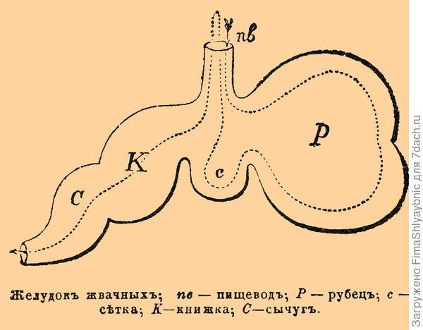 Схема желудка травоядных