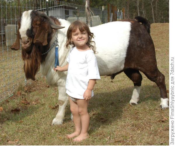 Юный козовод и козел-Бур. Фото с сайта freewebs.com