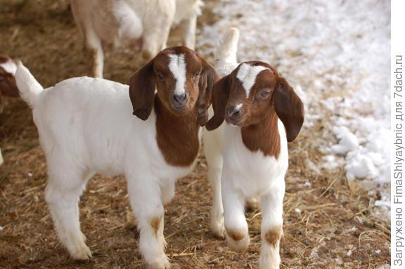 Козлятки бурской породы коз. Фото с сайта vtsheepandgoat.org