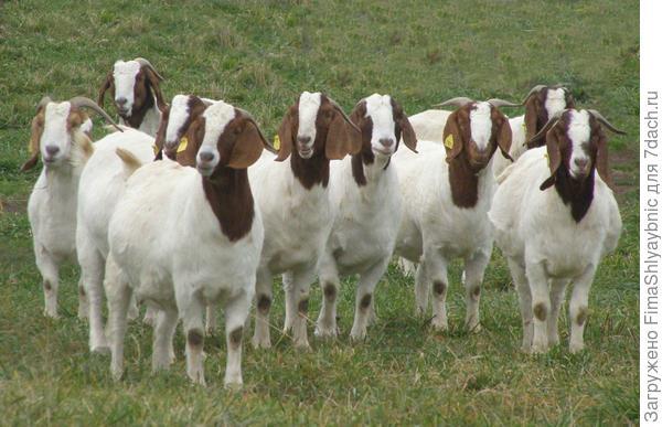 Бурские козы. Фото с сайта michianaboers.com