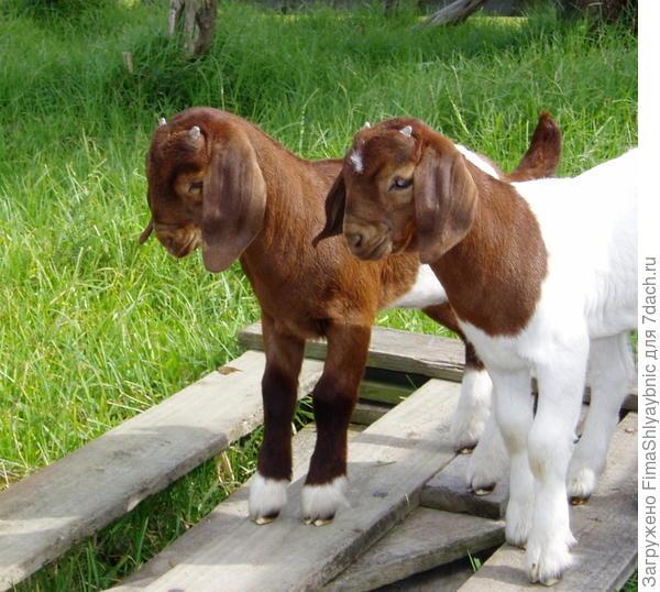 Козлята бурской породы коз. Фото с сайтаcadenzaboergoats.com
