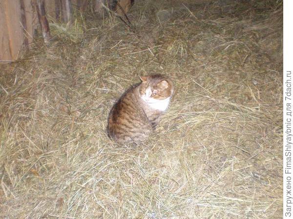 Приблудный кот, тоже ландрас Северо-запада России