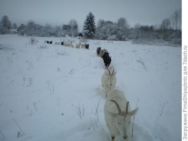 Козы идут друг за другом. Самые отстающие: Даша, Маша и Зая