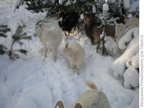 Снег, сосны и козы