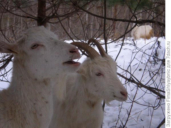Козы- подружки под сосенкой