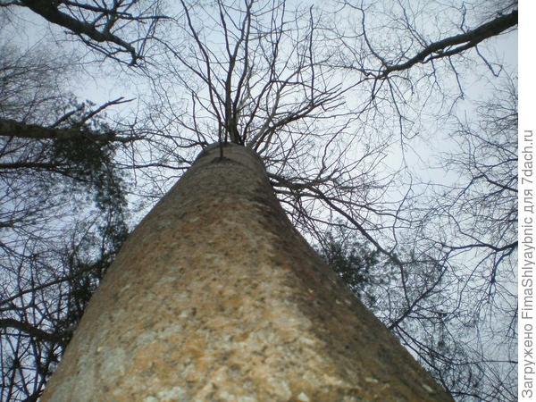 Высокая осина в лесу