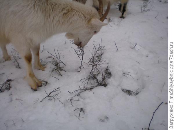 Елка и коза