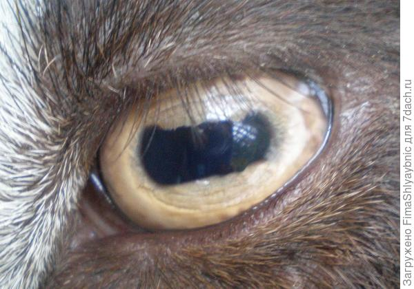 Козы умные и осторожные животные