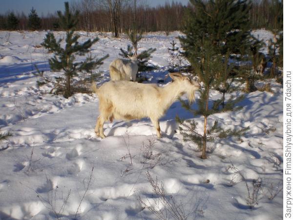 Зимние прогулки с козами