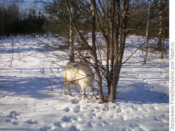Ракита и коза