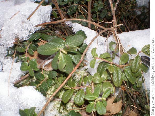 Зимние веточки брусники