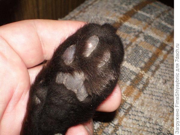 Потертая подушка лапы у кошки Багиры