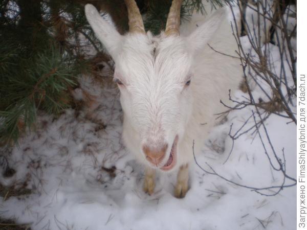 Коза жует хвою