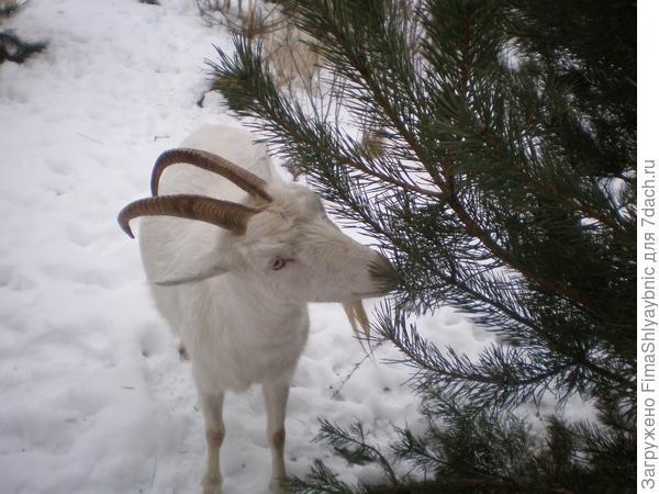 Витамины для козы