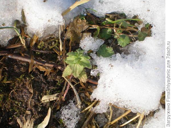 Зеленый кустик под снегом