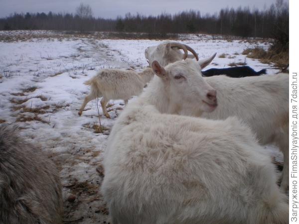 У коз всегда замечательное настроение