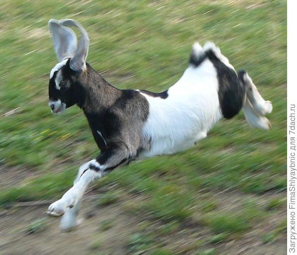 Бегущая козочка похожа на гончую собаку. Фото с сайта pinimg.com.
