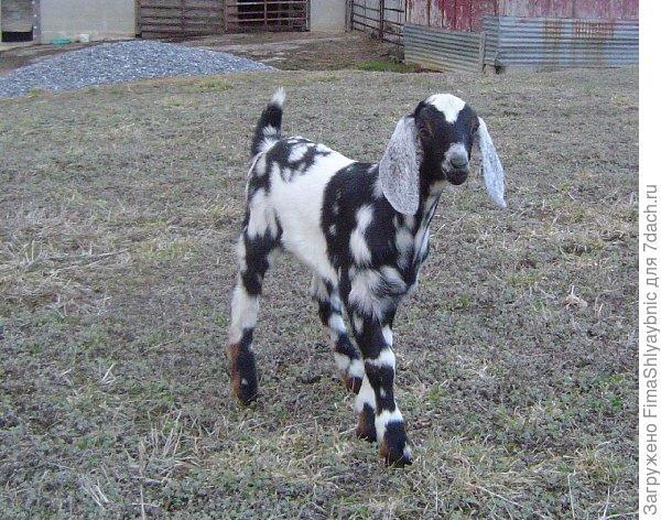 Козочка нубийской породы коз. Фото с сайта sheepsheep.com