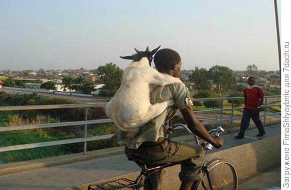 Коза-велосипедист. Фото с сайта worldwideinterweb.com