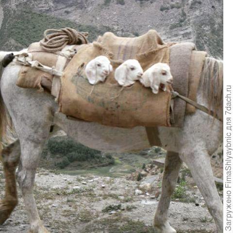 Козлята едут на верблюде. Фото с сайта cdninstagram.com