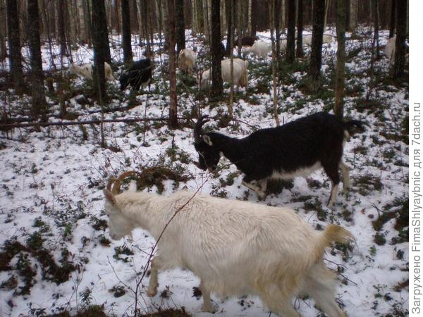 Козы в зимнем лесу