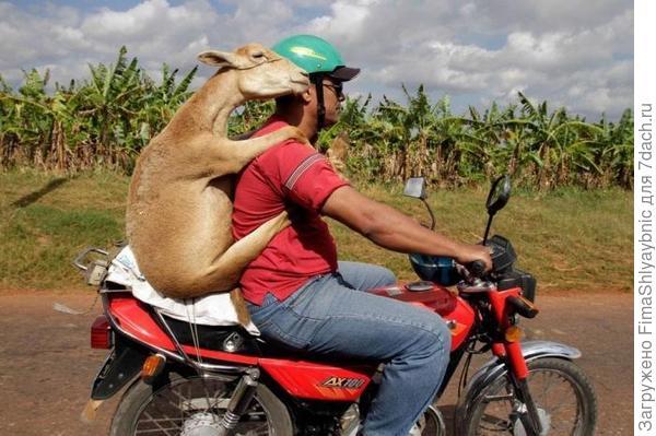 Коза, человек и мотоцикл. Фото с сайта captionthis.org