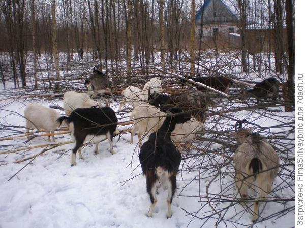 Ракиты и козы