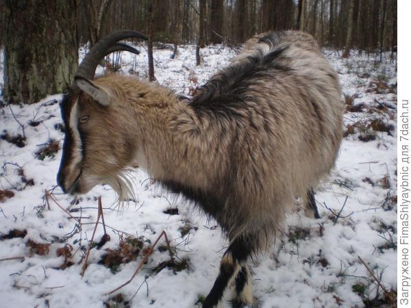 Хитрая коза