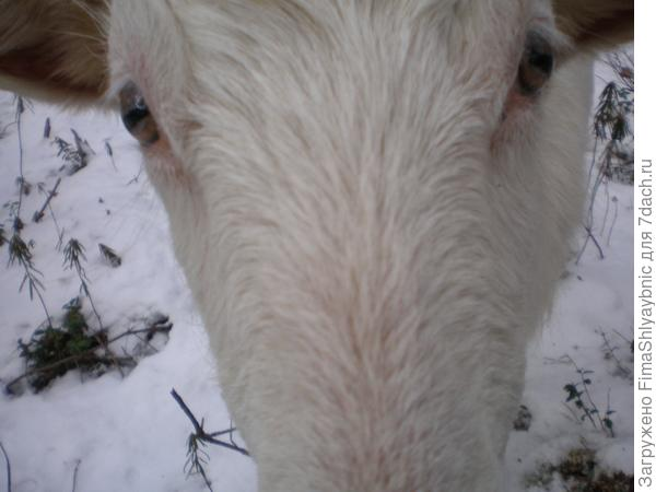 Зимняя коза