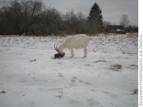 Маруся и кормушка с овсом