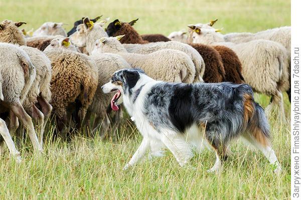 Собака и овцы. Фото с сайта dogtime.com