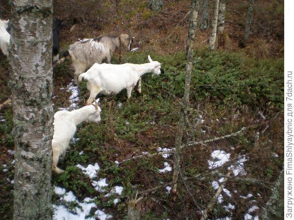 Козам скоро рожать