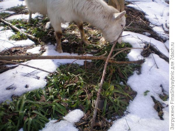 Трава, коза и снег