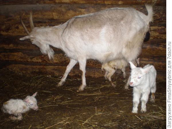 Лорка и ее многочисленное потомство