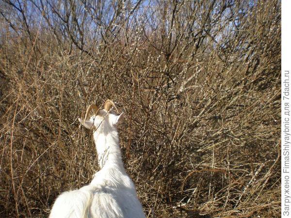 Коза ест ветки ивы