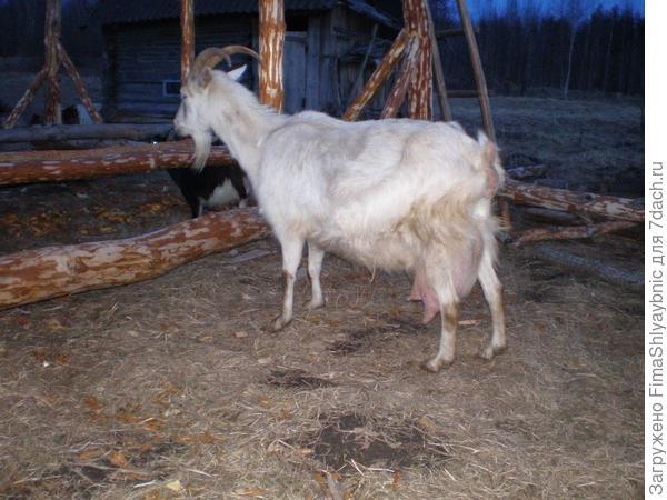 Коза Белка за час до родов