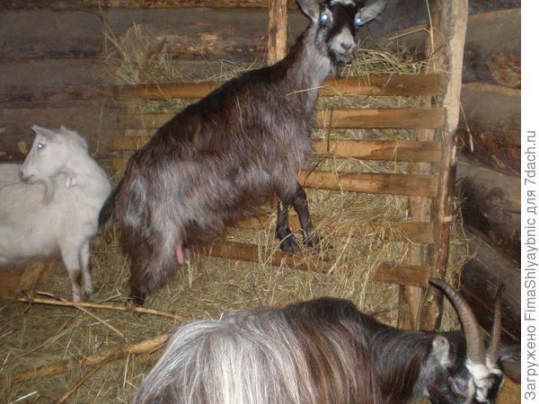 Феня, Тридцатьтринольпять и коза