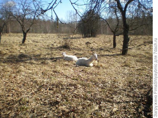 Козлик и коза на мартовском солнце