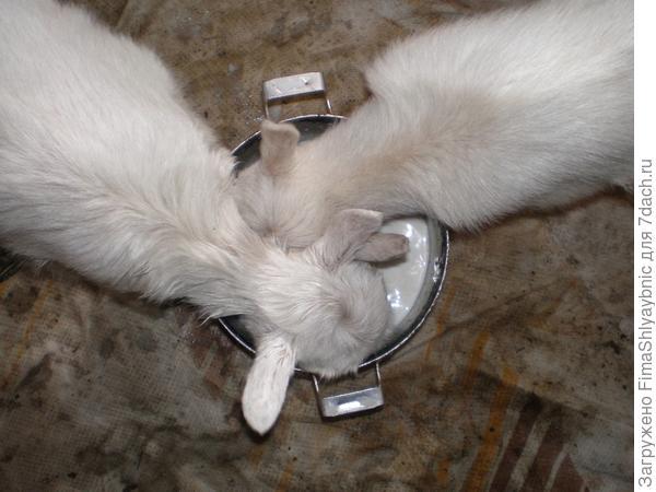 Козлята пьют из кастрюли вдвоем. Благодаря этому, время на поение сокращается почти вдвое