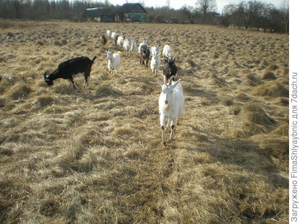 Козы идут на пастбище